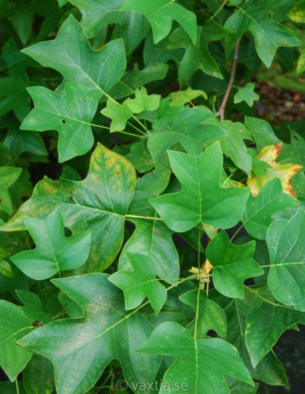 Liriodendron tulipifera-0