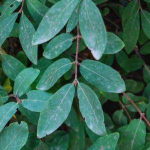 Lonicera caerulea var. kamtschatica 'Kalinka'-0