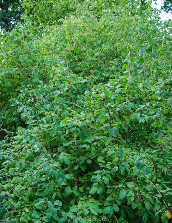 Lonicera xylosteum 'Compacta'-146