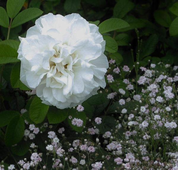 'Louise Bugnet' (R.rugosa)-419