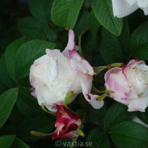 Kanadensiska rosor