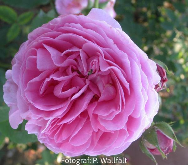 'Louise Odier' (Rosa x bourboniana)-0