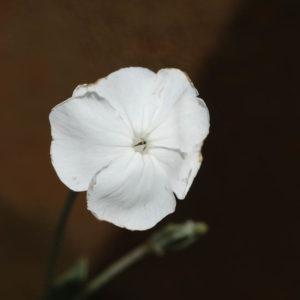 Lychnis coronaria 'Alba'-0