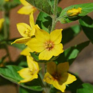 Lysimachia punctata-0