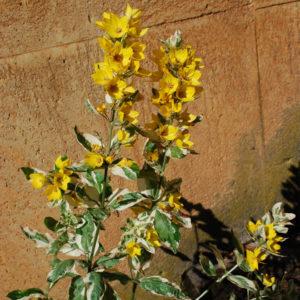 Lysimachia punctata 'Alexander'-0