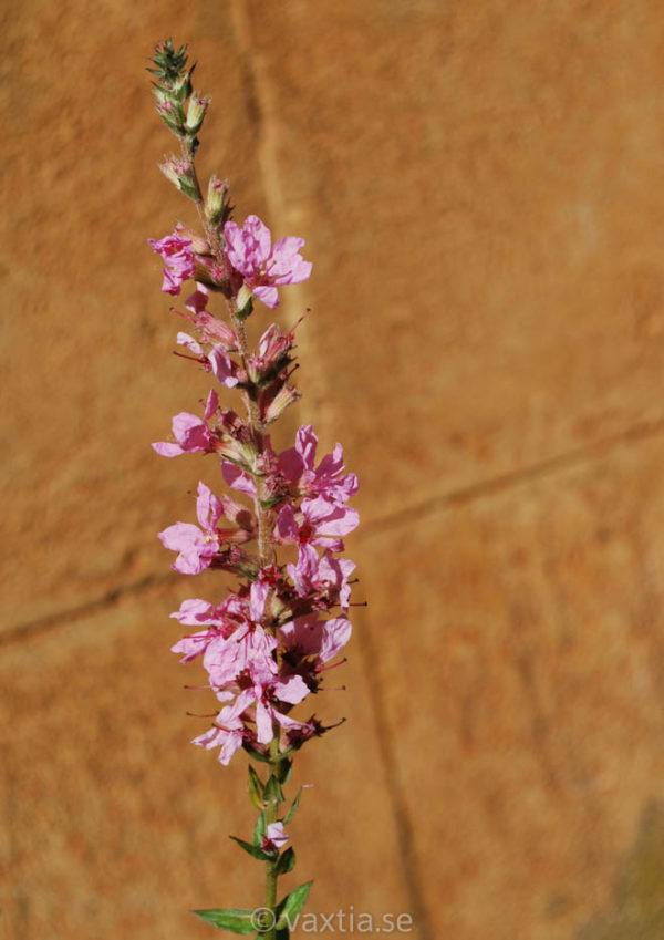 Lythrum salicaria 'Blush'-0