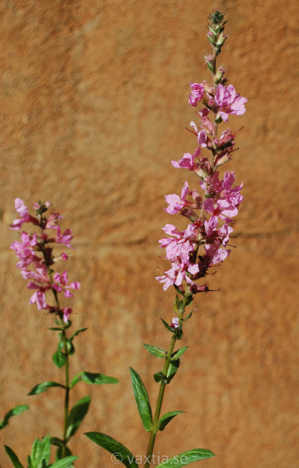 Lythrum salicaria 'Blush'-1905