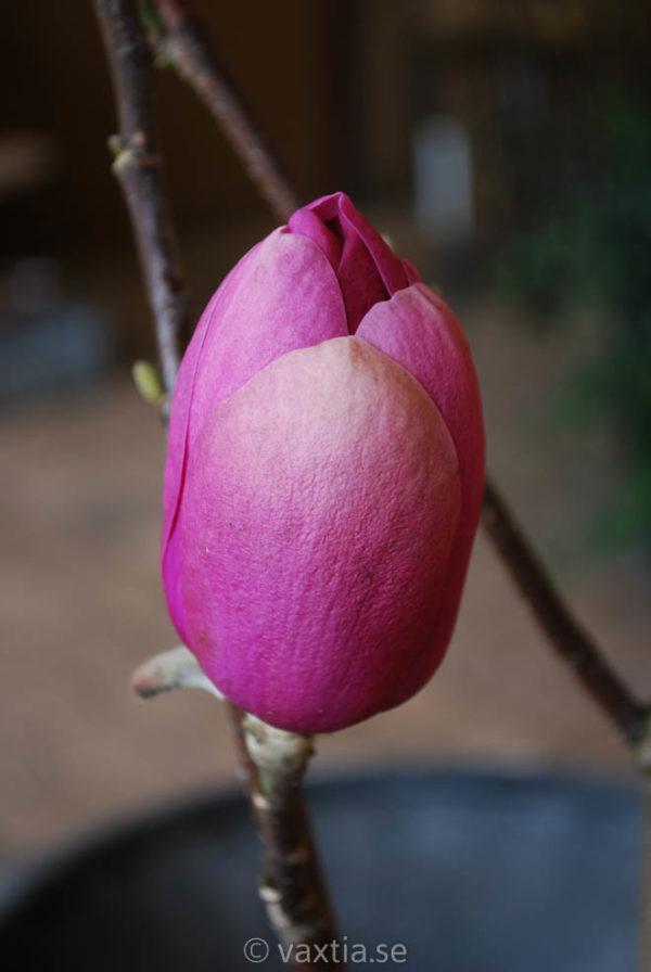 Magnolia 'Black Tulip' -0