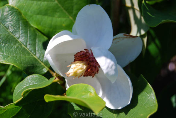 Magnolia sieboldii-0