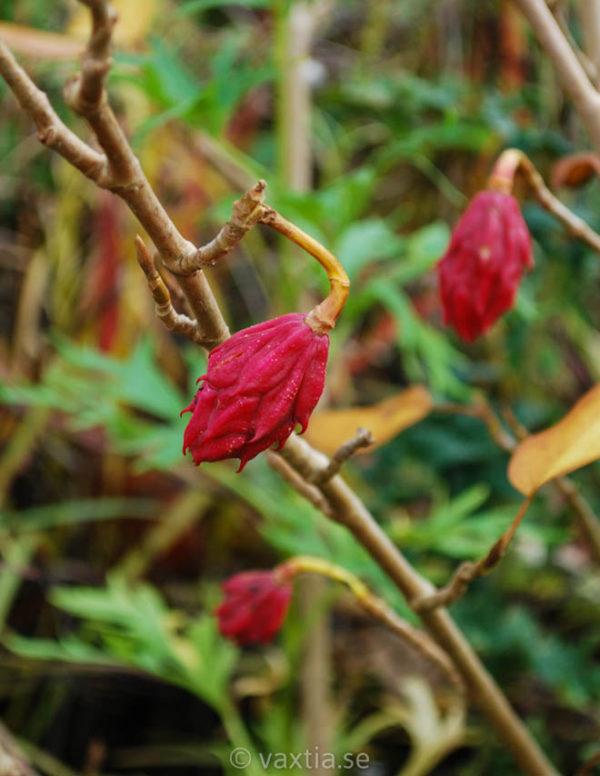 Magnolia sieboldii-143