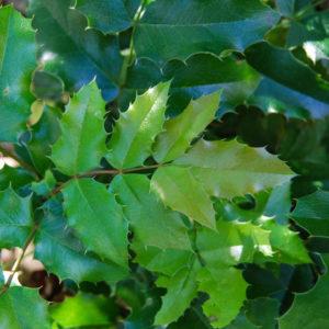 Mahonia aquifolium 'Smaragd'-0