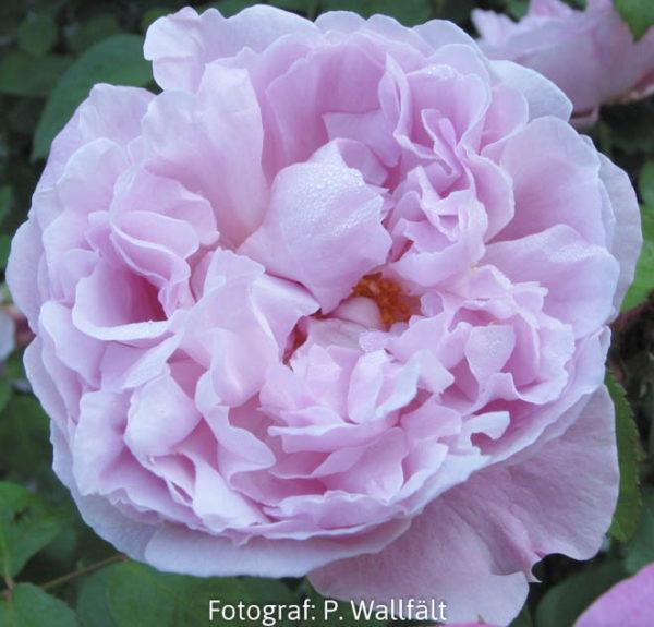 'Mary Rose'-0