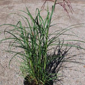 Miscanthus sinensis 'Ferner Osten'-0