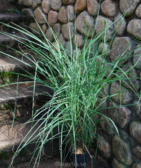 Miscanthus sinensis 'Graziella'-0