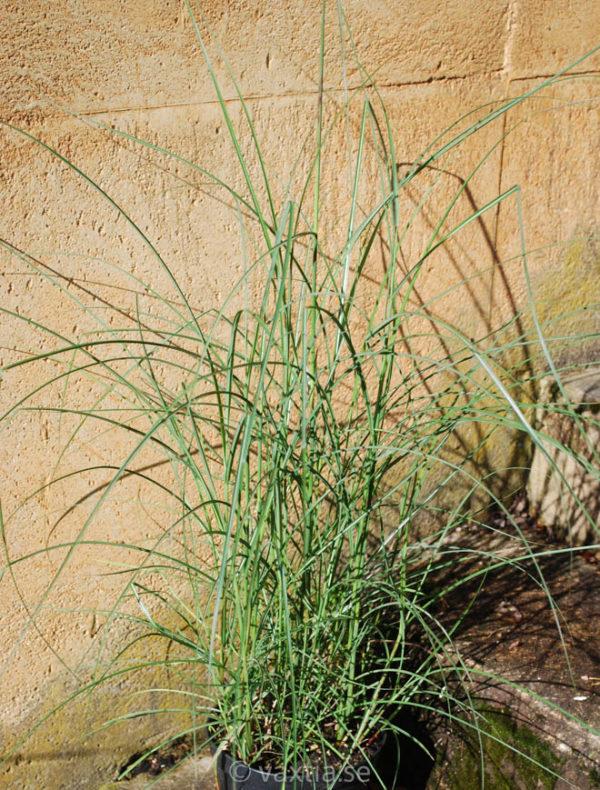 Miscanthus sinensis 'Kleine Silberspinne'-1964
