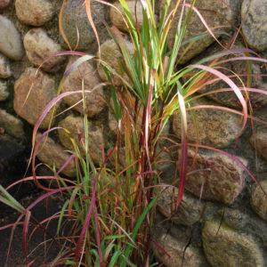 Miscanthus - Japanskt gräs