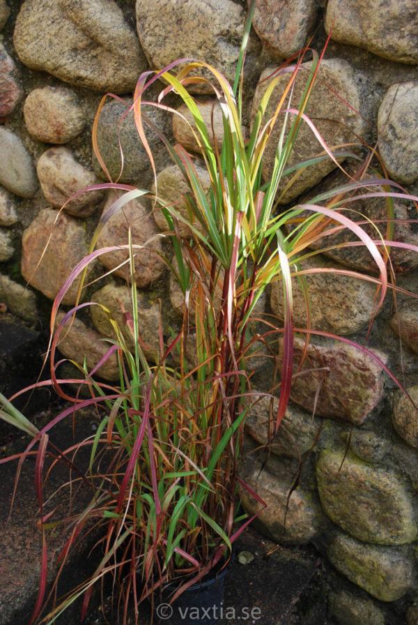 Miscanthus sinensis 'Purpurascens' -0