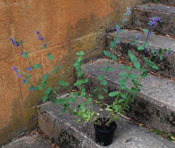 Nepeta faassenii 'Blue Wonder'-1039