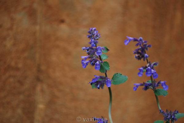Nepeta faassenii 'Blue Wonder'-0