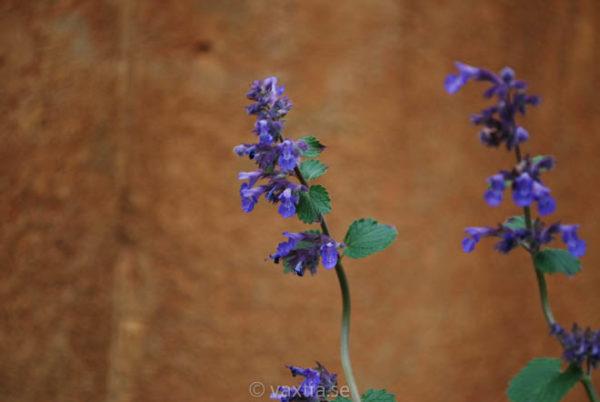 Nepeta faassenii 'Blue Wonder'-1038