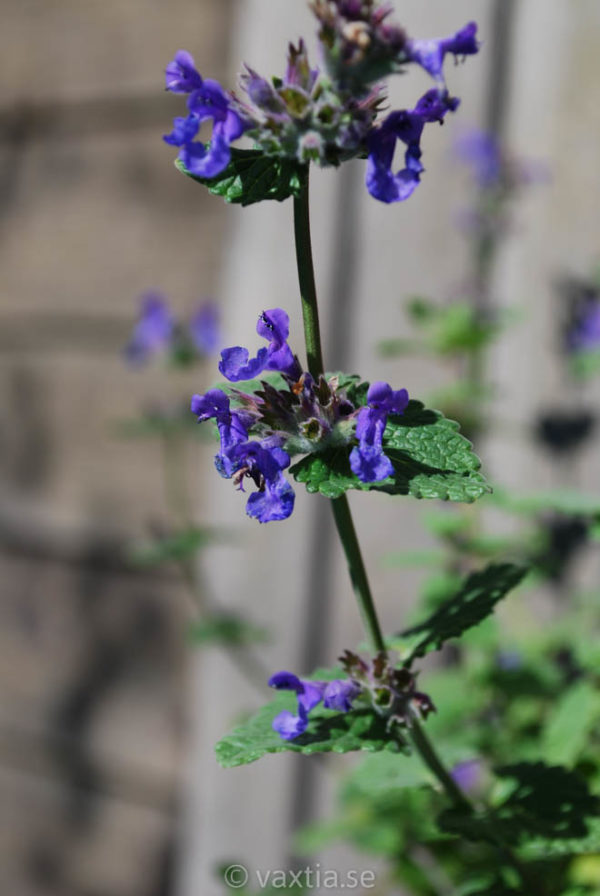 Nepeta racemosa Linghem-0