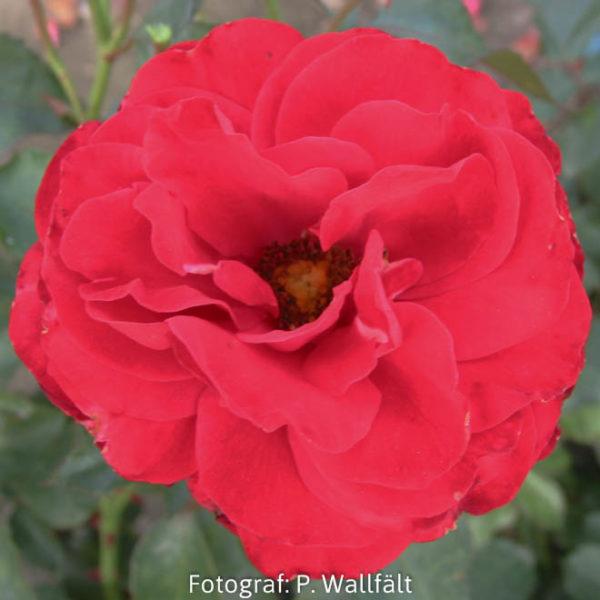'Nina Weibull' (Floribunda)-0