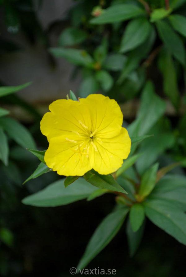 Oenothera fruticosa 'Erica Robin'-0