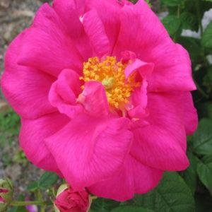 Gammeldags rosor