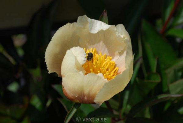 Paeonia lactiflora 'Claire de Lune'-1180