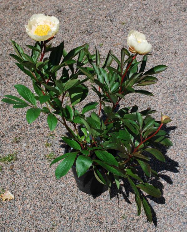 Paeonia lactiflora 'Claire de Lune'-1183