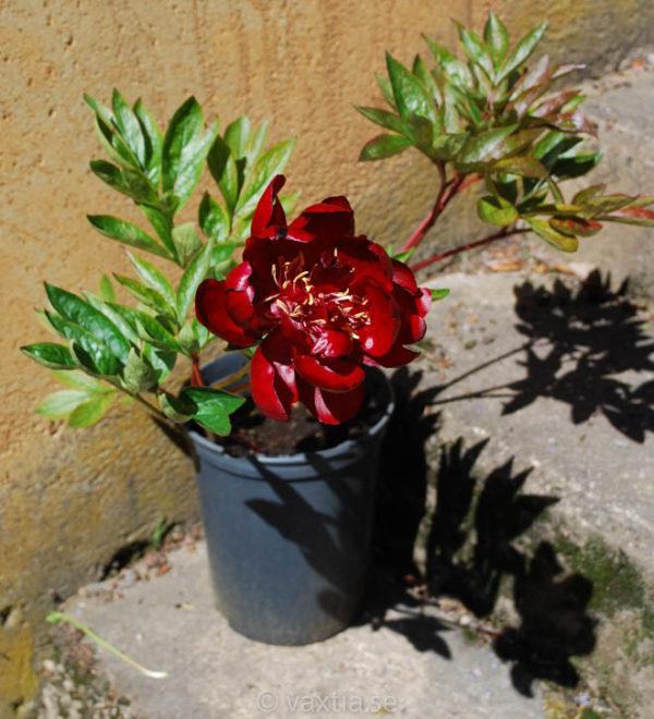 Paeonia lactiflora 'Buckeye Belle'-1515