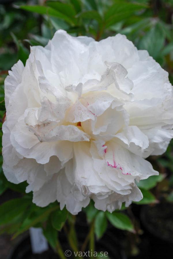 Paeonia lactiflora 'Shirley Temple'-0