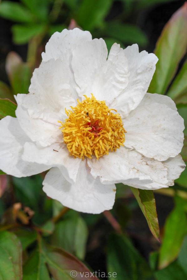 Paeonia lactiflora 'White Wings'-0