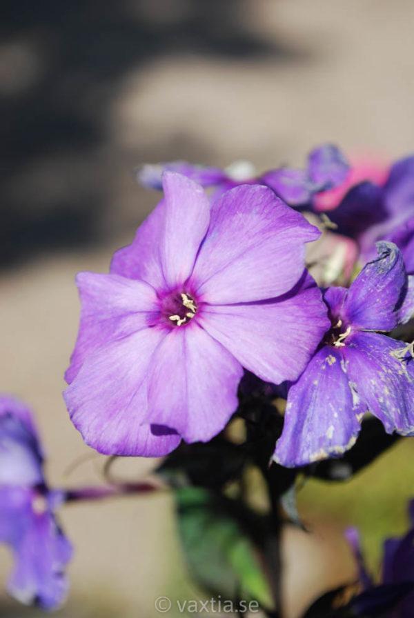 Phlox paniculata 'Blue Paradise'-0