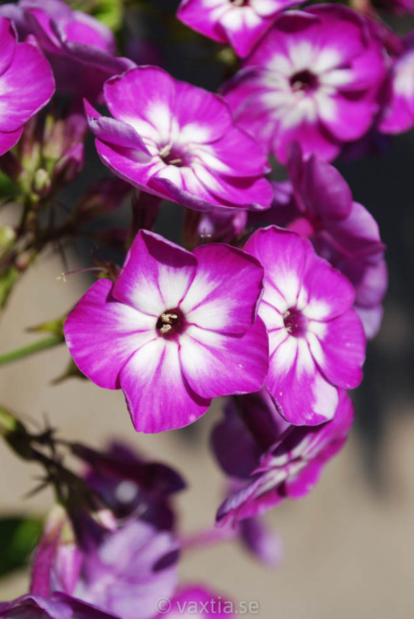 Phlox paniculata 'Purple Eye Flame' -0