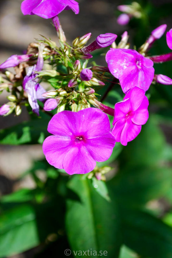 Phlox paniculata 'Purple Flame' -566