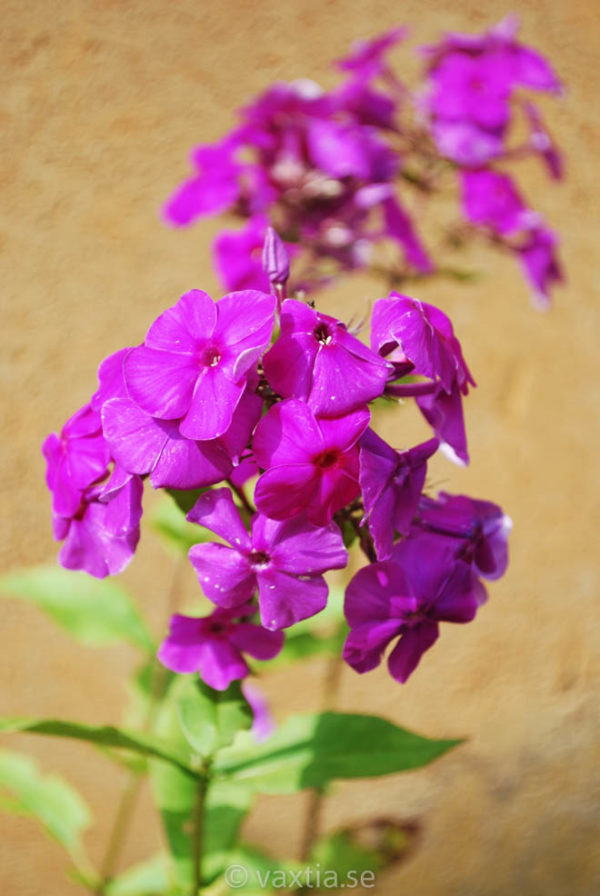 Phlox paniculata 'Purple Flame' -0