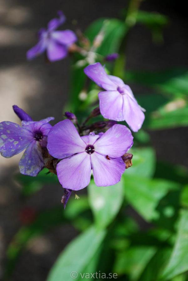Phlox paniculata 'Violet Flame' -0