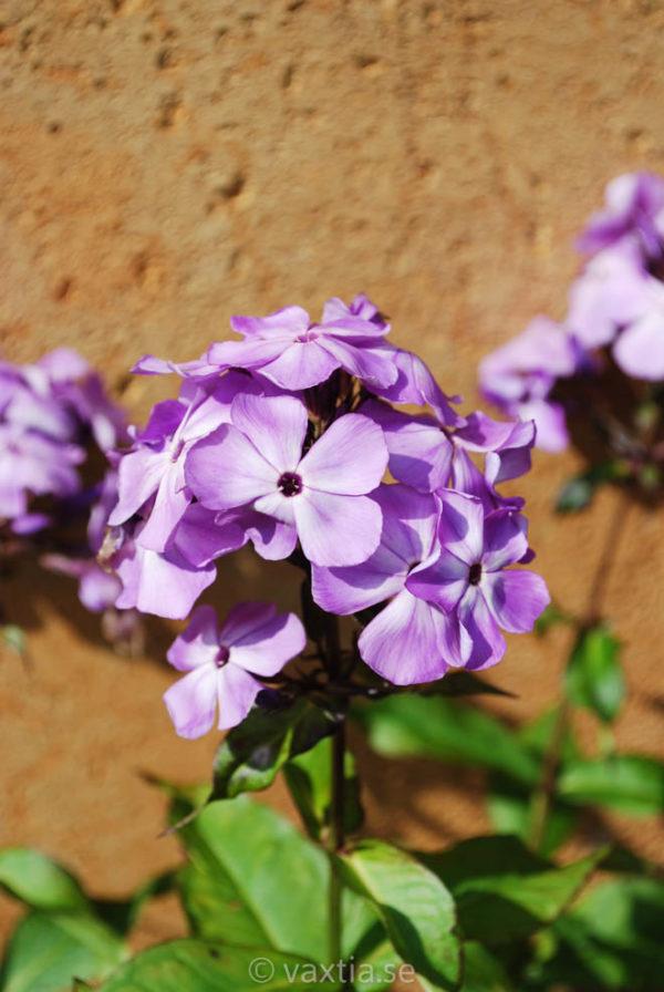 Phlox paniculata 'Violet Flame' -1726