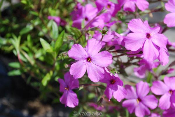 Phlox procumbens 'Rosea'-0