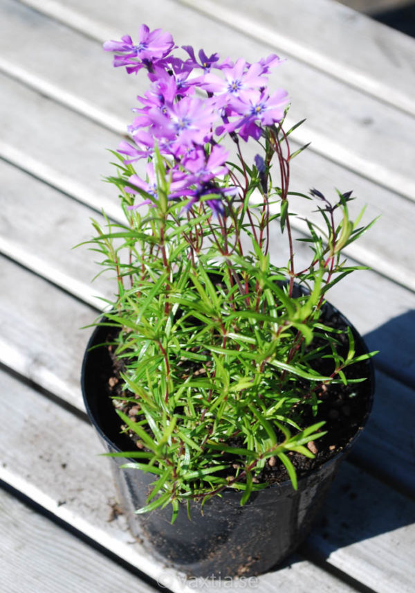 Phlox subulata 'Purple Beauty'-1241