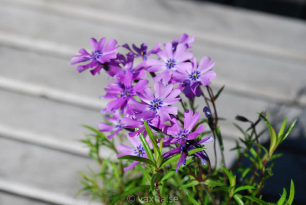 Phlox subulata 'Purple Beauty'-0