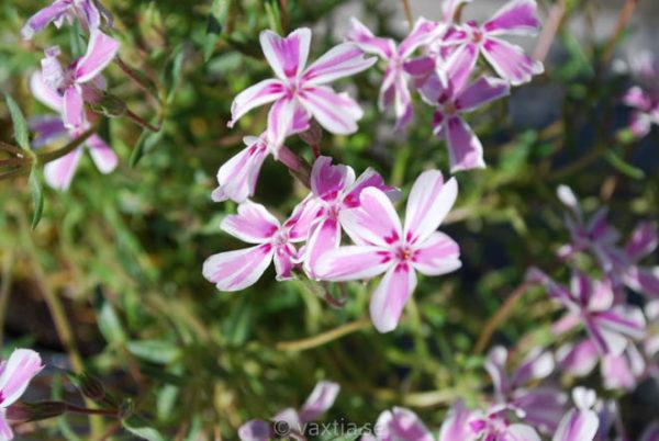 Phlox subulata 'Tamaongalei' (syn Candy Stripes) (syn Mikado)-0