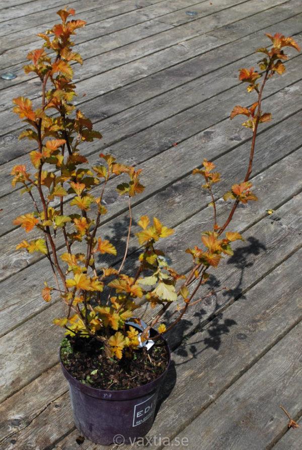 Physocarpus opulifolius 'Amber Jubilee'-0