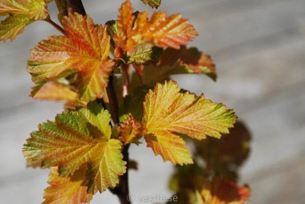 Physocarpus opulifolius 'Amber Jubilee'-847