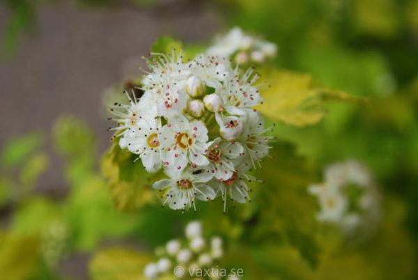 Physocarpus opulifolios 'Angel Gold'-0