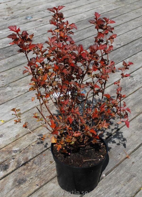 Physocarpus opulifolius 'Diable d'Or'-0