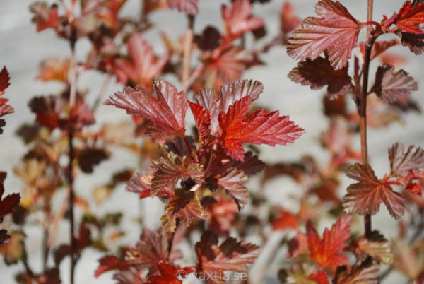 Physocarpus opulifolius 'Diable d'Or'-849