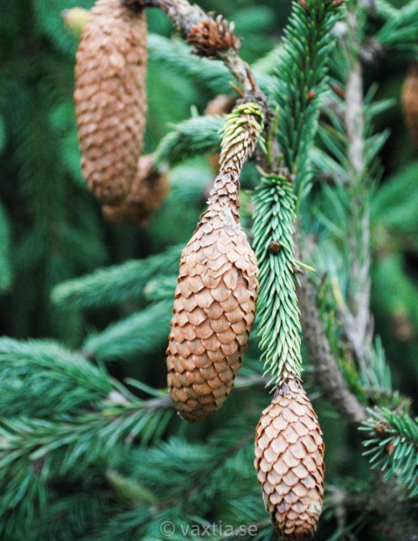 Picea abies 'Acrocona'-98
