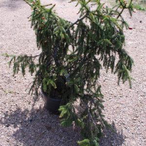Picea abies 'Acrocona'-0